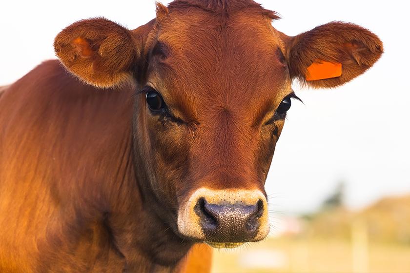 Parmigiano Red Cows